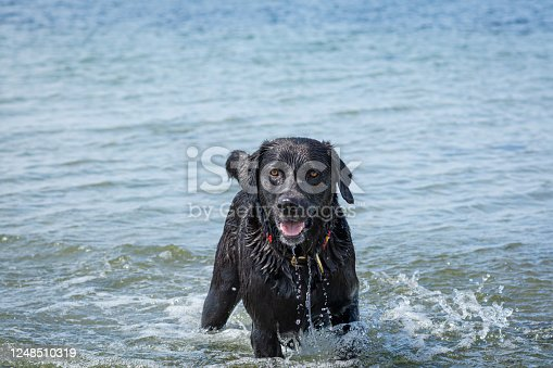 A happy and playful black labrador retriever dog swim and play in the ocean. Blue ocean and water splash