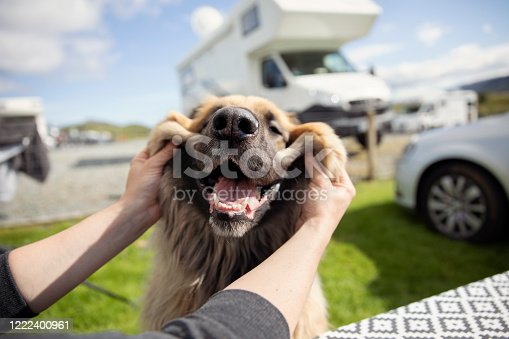 istock Happy and smiling Leonberger dog on a campsite 1222400961