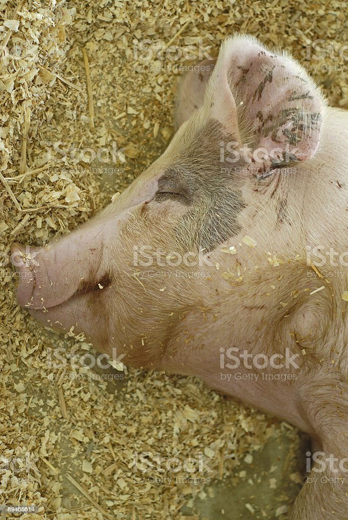 Happy as a Pig in Slop 免版稅 stock photo