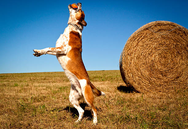 Happy australian cattle dog leaping wth orange ball in mouth picture id506103042?b=1&k=6&m=506103042&s=612x612&w=0&h=72hiz0g u3bmhyct7xf6q qlth it k24qmigqzwfyq=