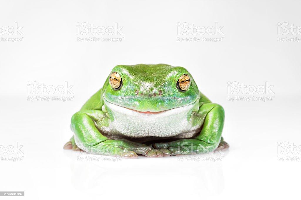 Happy Australian Green Tree Frog stock photo