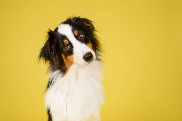 gelukkige australische herder hond - gekanteld stockfoto's en -beelden