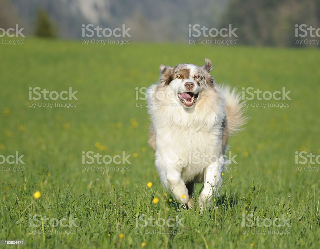 Happy Australian Shepherd playing outside in the evening sun royalty-free stock photo