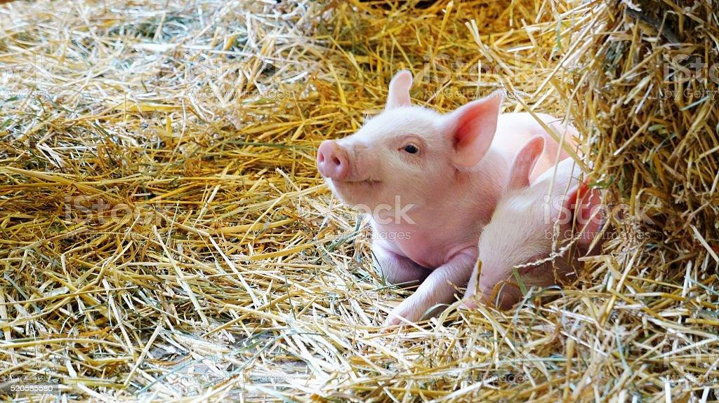 Happy Baby Piglet stock photo