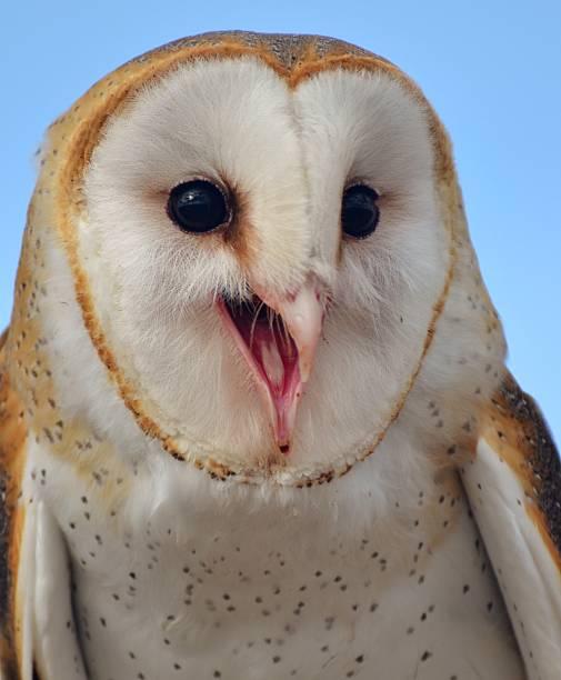 Happy barn owl picture id503222326?b=1&k=6&m=503222326&s=612x612&w=0&h=r0igyjwcevlss sqdpzyama6nvgjuiv83husba4kuy0=