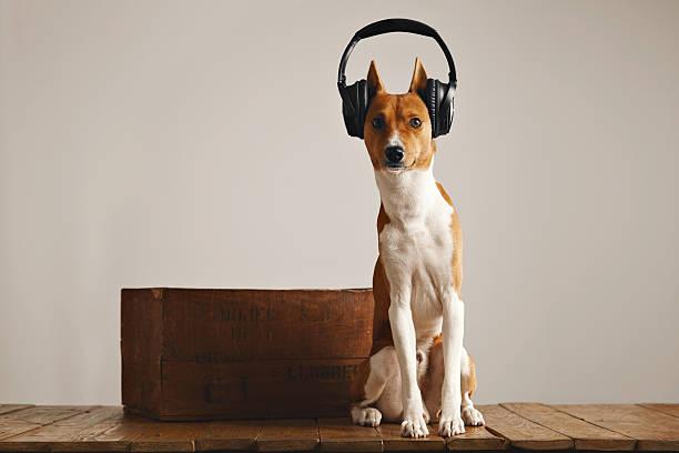 Happy basenji dog wearing headphones stock photo