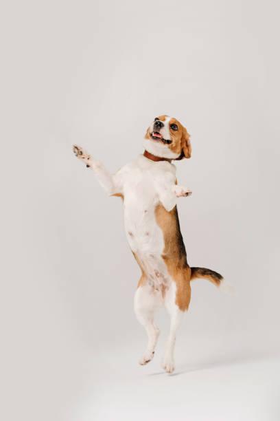 Happy beagle dog dancing on white background picture id1207271951?b=1&k=6&m=1207271951&s=612x612&w=0&h=1vc225tpgrrmr hameiuhsg5bueqaqoxye1jfa0x95k=