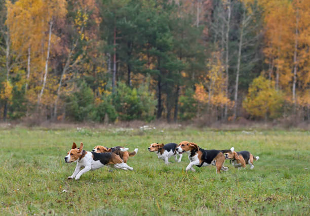 Happy beagles Happy beagles having a fun on a autumn backgraund hunting dog stock pictures, royalty-free photos & images