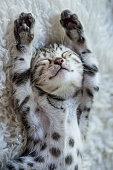 Bengal Kitten peacefully sleeping