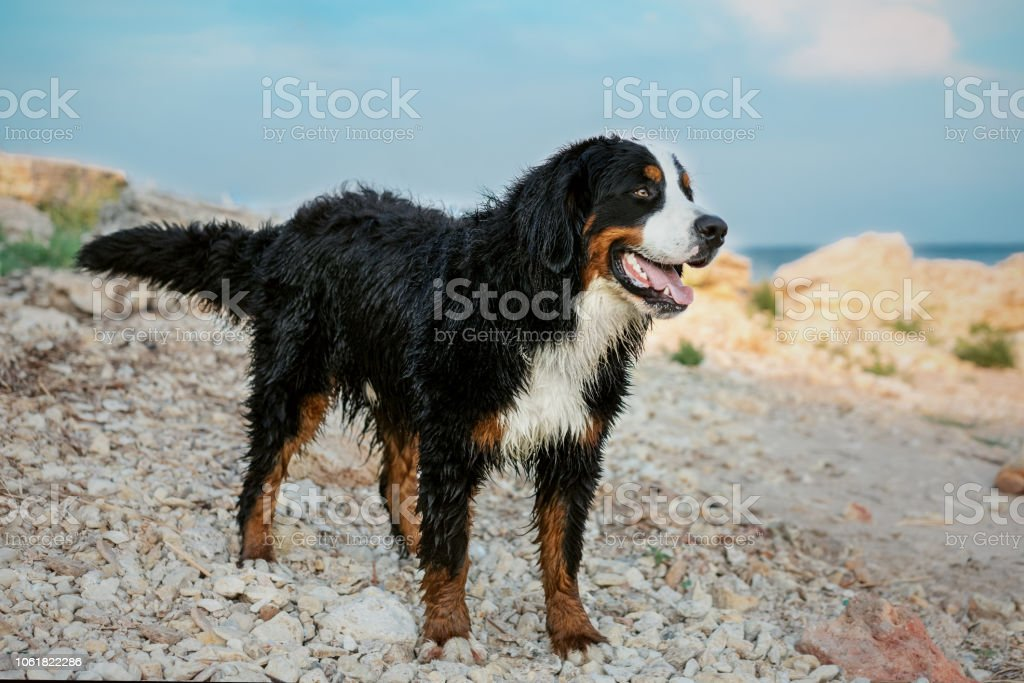 Happy Bernese Mountain Dog Wet After Bathing In The Sea