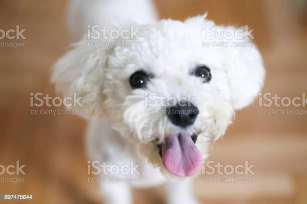 Happy bichon dog picture id697475644?b=1&k=6&m=697475644&s=612x612&h=rkt svh8j97yiawl6a mdrngkbiv6v qs9bdycgvu q=
