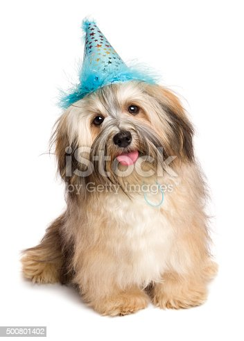 istock Happy Bichon Havanese puppy dog in a blue party hat 500801402
