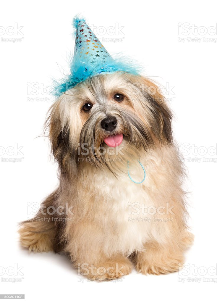 Happy Bichon Havanese puppy dog in a blue party hat stock photo