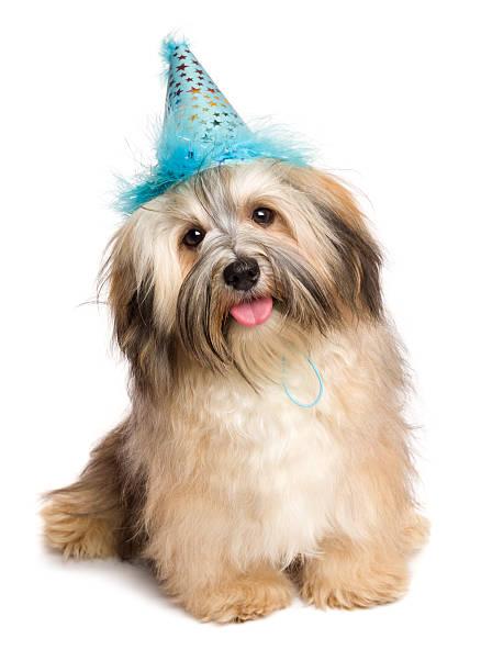 happy bichon havaneser welpen hund in partyhut-blau - silvester mit hund stock-fotos und bilder