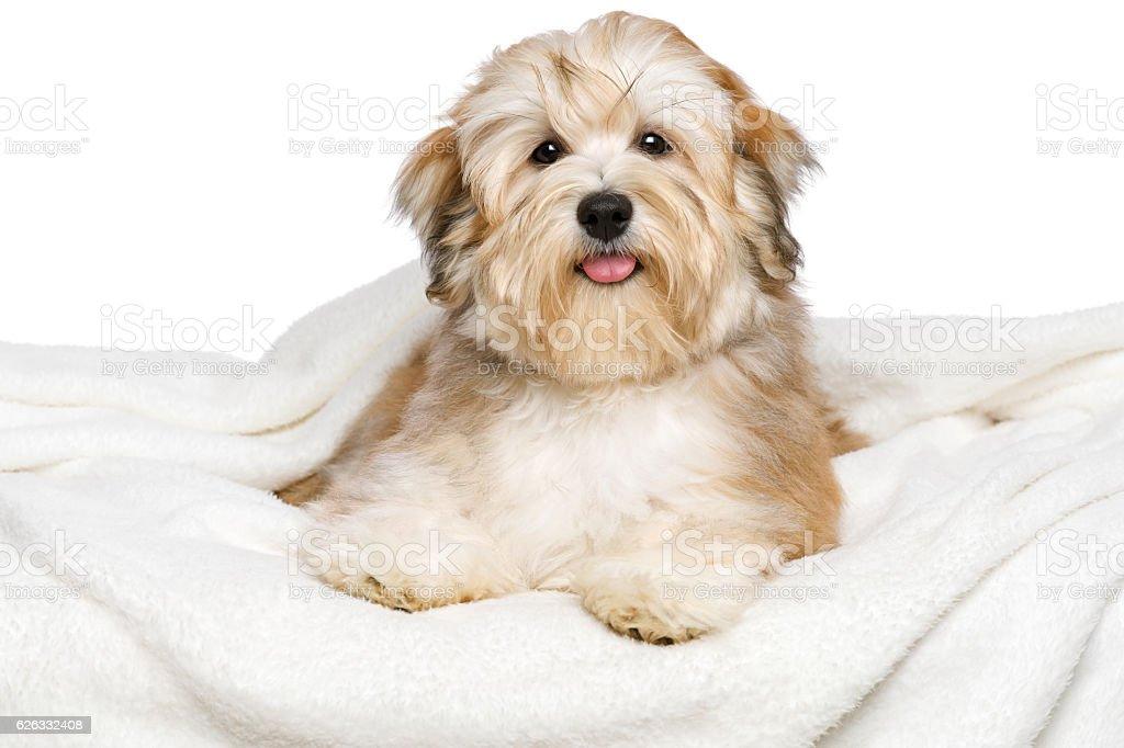 Happy Bichon Havanese puppy on a white bedspread stock photo