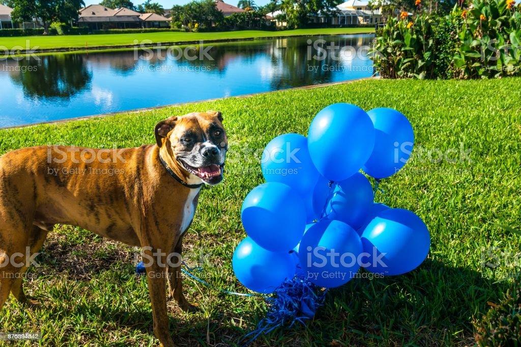 cachorro grande feliz joga com um balão - foto de acervo
