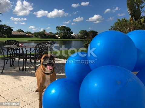 boxer dog plays with a balloon on the ground