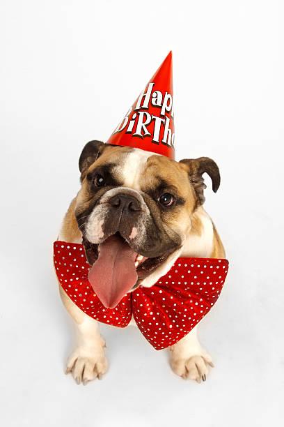 Happy Birthday Bulldog stock photo