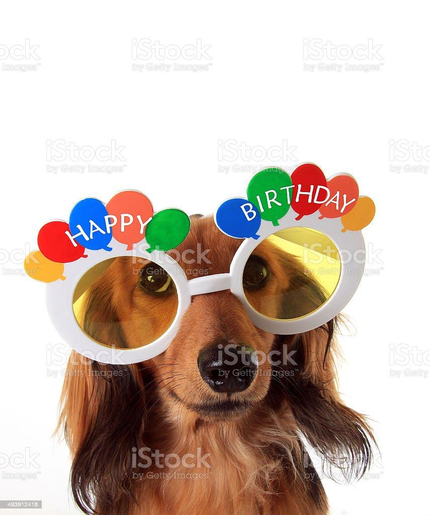 Happy Birthday dachshund stock photo