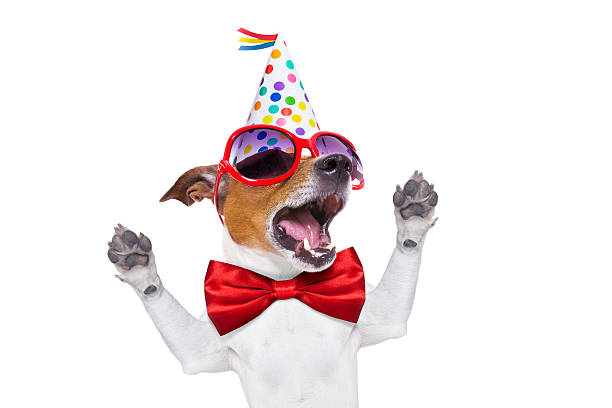 happy birthday dog singing jack russell dog  as a surprise, singing birthday song  , wearing  red tie and party hat  , isolated on white background carnival celebration event stock pictures, royalty-free photos & images
