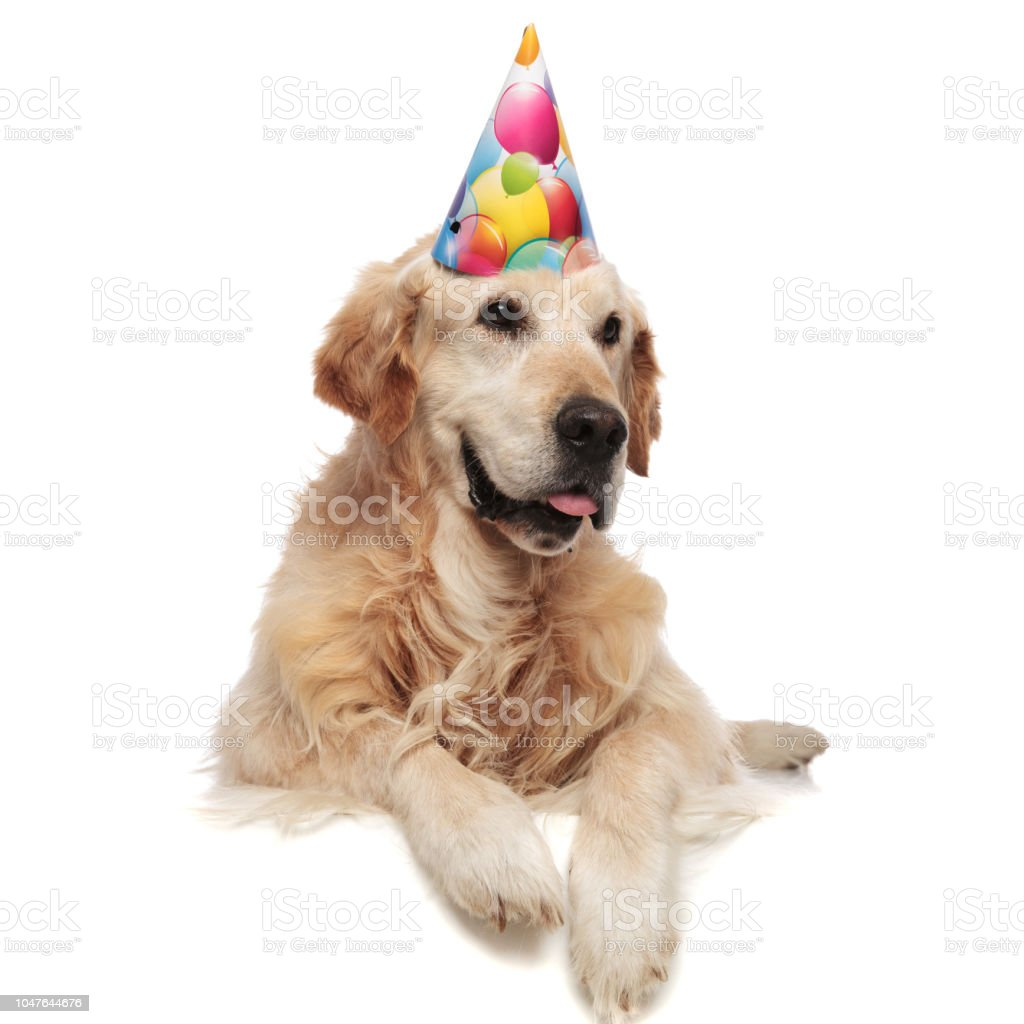 Royalty Free Happy Birthday Golden Retriever Pictures Images And