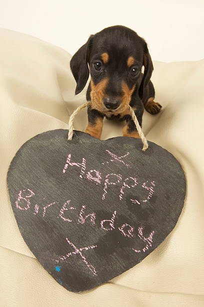 136 Happy Birthday Dachshund Stock Photos Pictures Royalty Free Images Istock