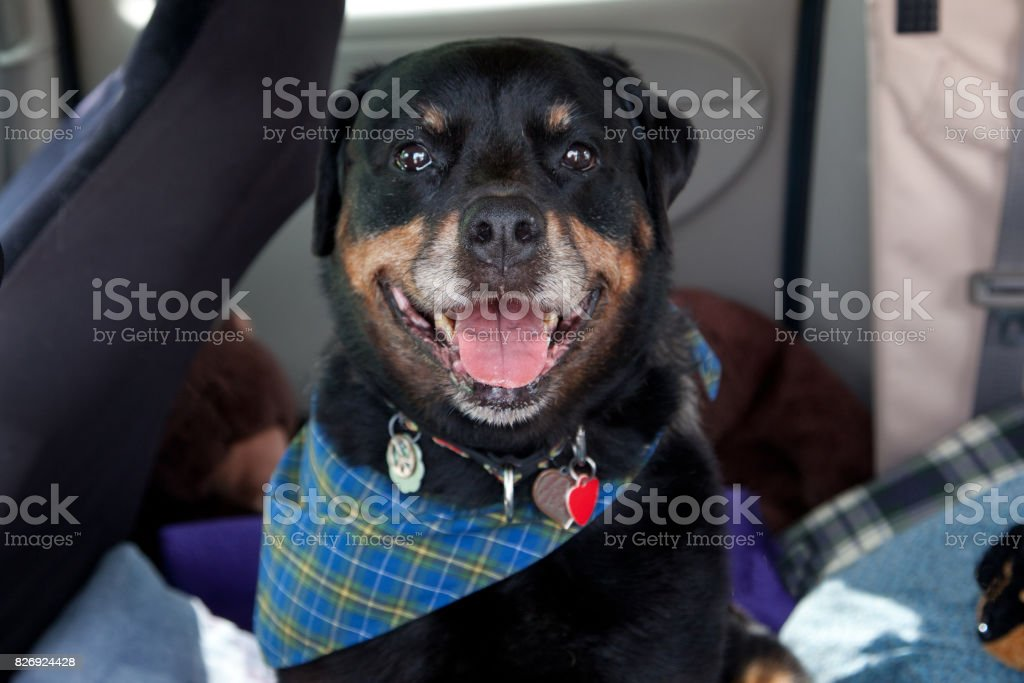 happy black and brown dog stock photo