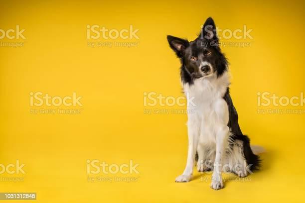 Happy black and white border collie dog picture id1031312848?b=1&k=6&m=1031312848&s=612x612&h=mg4hwf9 qnbvozhfshnft bxuumrevr7wdh46l oxvs=