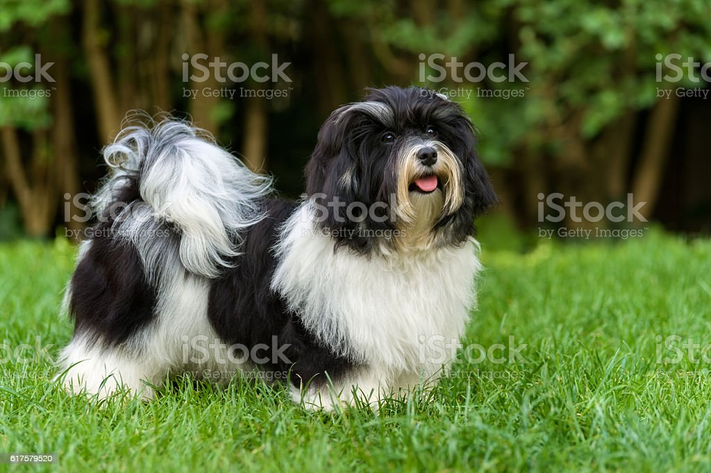 Happy black and white havanese puppy in the grass stock photo