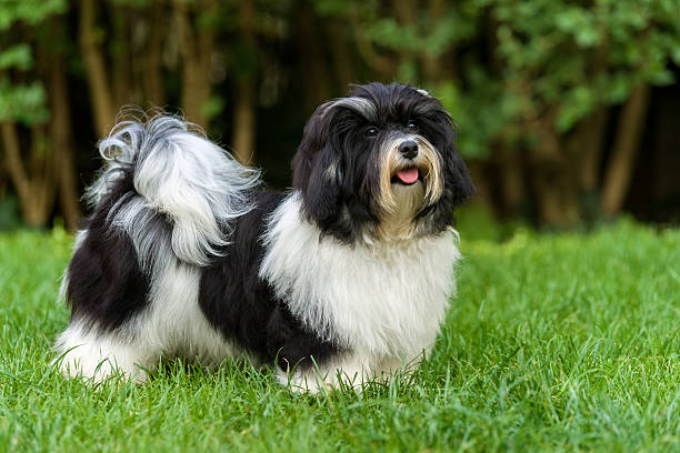 happy black and white havanese puppy in the grass - havaneser in not stock-fotos und bilder