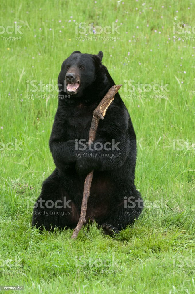 Happy black bear with stick on green grass in California near Yosemite stock photo