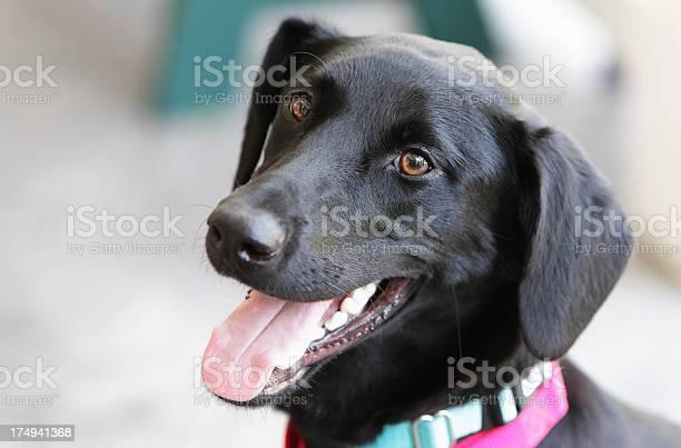 Happy black labrador dog picture id174941368?b=1&k=6&m=174941368&s=612x612&h=253v4dqt7i lhhjoelxu3g245zu9xaxutykyoeqj9gy=