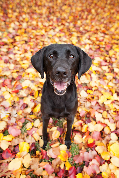 Happy black labrador standing in blanket of fall colors picture id504881844?b=1&k=6&m=504881844&s=612x612&w=0&h=9ed4qfvf9j6am8aumc1 wiiqpkpeub9ejsl 539yaiw=