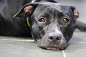 happy black pitbull resting lying down after an invigorating walk