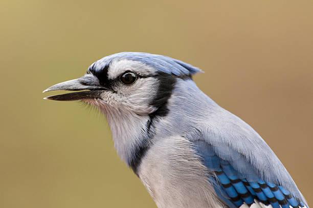 Happy Blue Jay stock photo