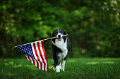 Happy border collie carrying USA flag