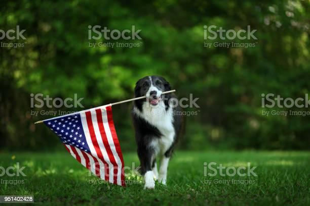 Happy border collie carrying usa flag picture id951402428?b=1&k=6&m=951402428&s=612x612&h=d4f0lmazdpokyxvklkbylj78th  ey4p5prj2gbvdew=