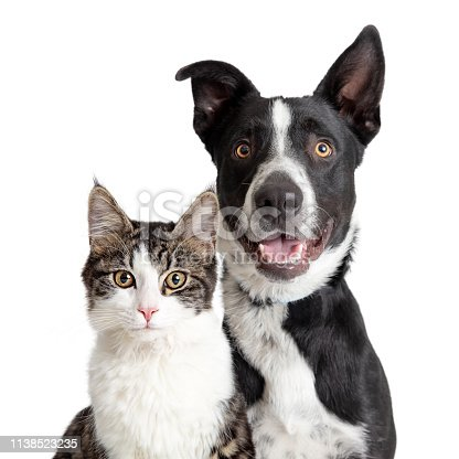 Tabby  and white cat and Happy Border Collie crossbreed dog with smiling expression looking at camera