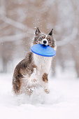 border collie dog running with a flying disc outdoors in winter