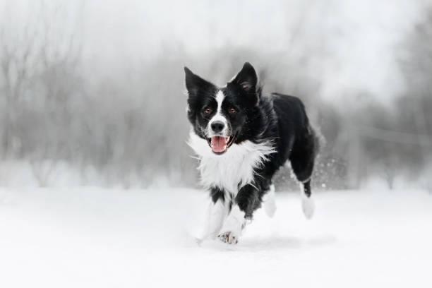 feliz frontera collie perro corriendo al aire libre en invierno - dog fotografías e imágenes de stock