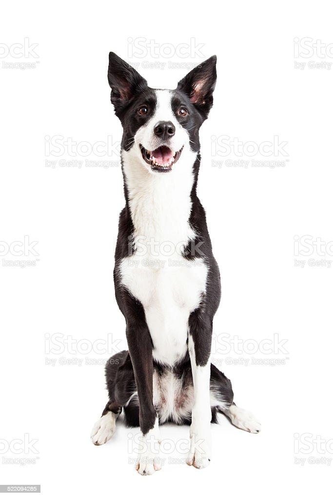 Feliz con perros Border Collie mezclar raza de estar - foto de stock