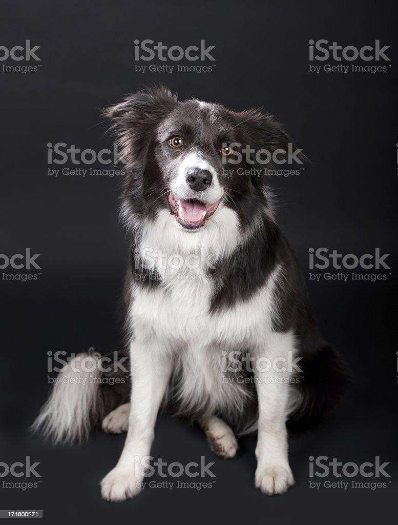 Happy Border Collie royalty-free stock photo