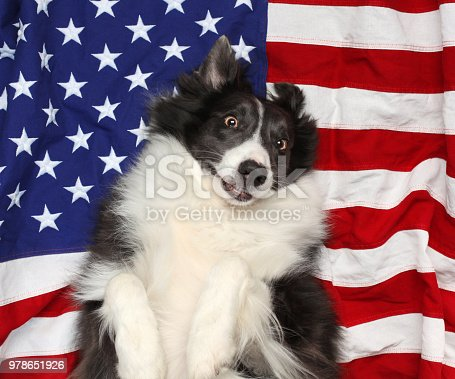 509363072istockphoto Happy border collie playing on American flag 978651926
