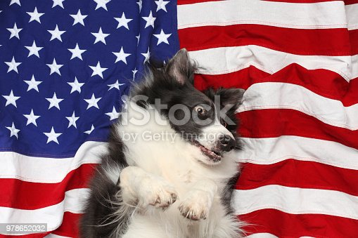509363072istockphoto Happy border collie playing on American flag 978652032