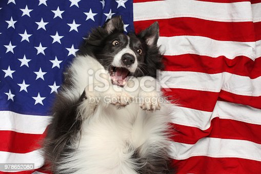 509363072istockphoto Happy border collie playing on American flag 978652080