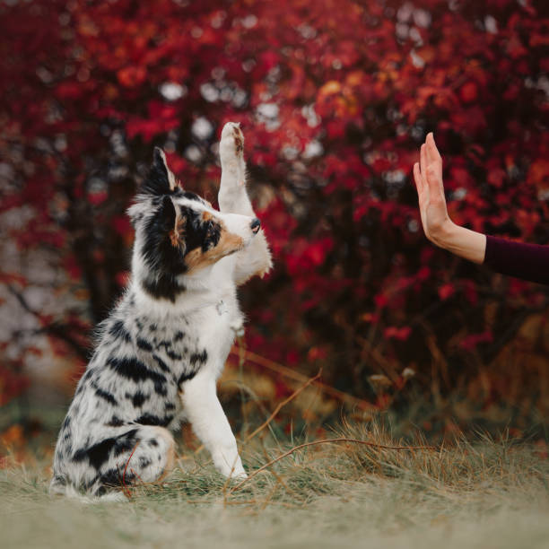 happy border collie puppy gives paw to owner outdoors happy border collie puppy gives paw outdoors animal tricks stock pictures, royalty-free photos & images