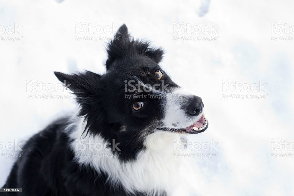 happy bordercollie royalty-free stock photo