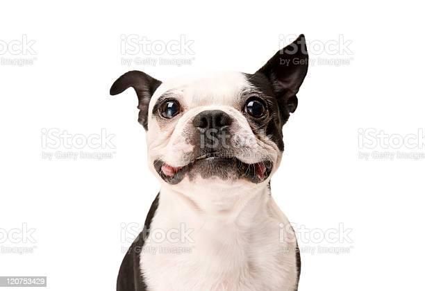 Happy boston terrier dog on white background picture id120753429?b=1&k=6&m=120753429&s=612x612&h=afhsktdcqefux2uinh7vnfyzbt6smsnkej a1eh9jii=