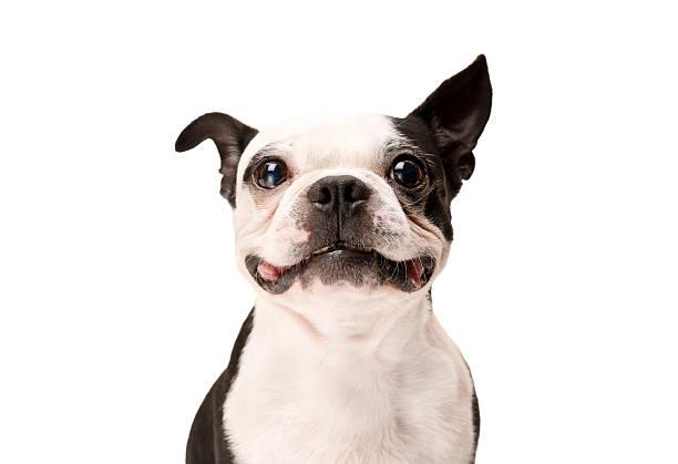 Happy Boston Terrier Dog on White Background stock photo