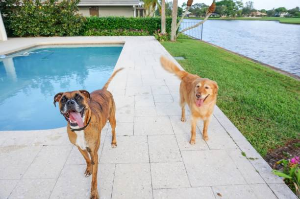 Happy boxer dog and golden retriever in the back yard picture id872611224?b=1&k=6&m=872611224&s=612x612&w=0&h=qtg9fdqdkfzhuwrzgssi91gho uzszyny8xad  ixco=